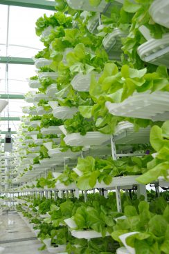 salat growing on a vertical shelf system